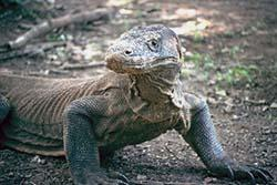 The Amazing Komodo Dragon